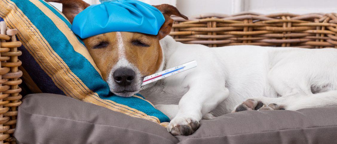 assurer un chien déjà malade