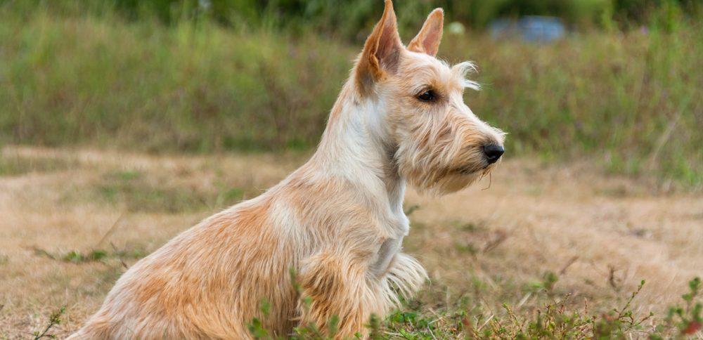 particularités du Scottish terrier