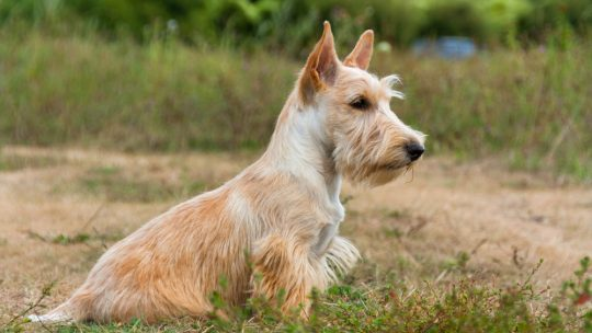 particularités du Scottish terrier